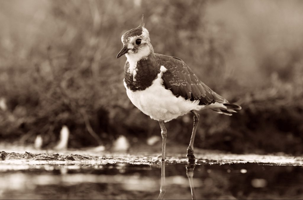 Northern lapwing wading in water